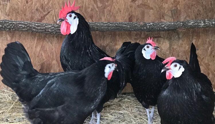 apariencia y características de la gallina española carablanca