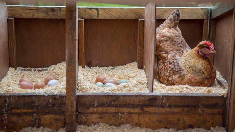 Cajas de nido para gallinas ponedoras