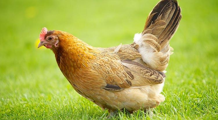 Apariencia y características de la gallina Jærhøns
