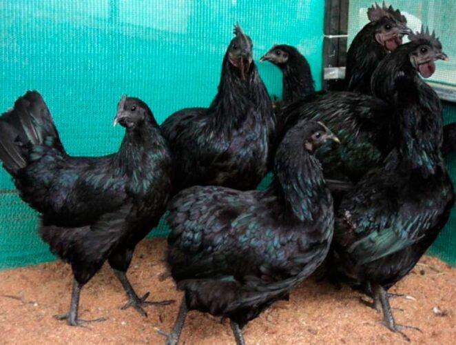 Apariencia y características de  la gallina Kadaknath