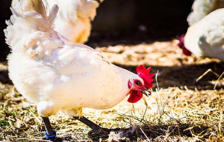 Apariencia y características de la gallina Bresse Gauloise
