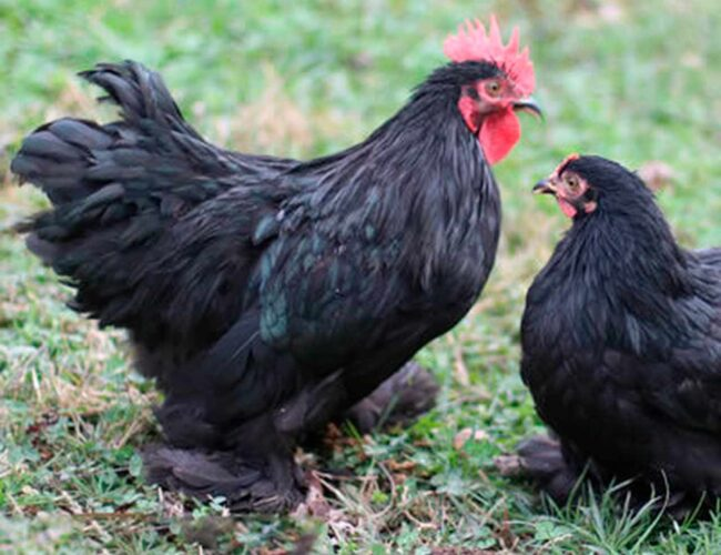 gallina cochinchina negra 1