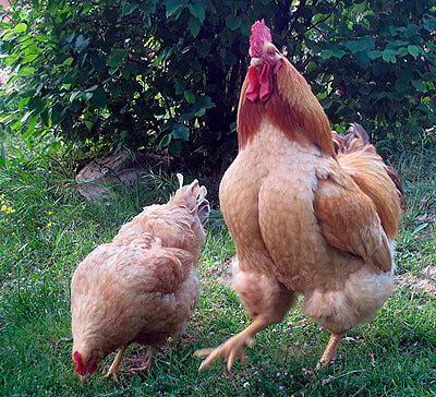 Apariencia y características de la gallina Robusta Lionata