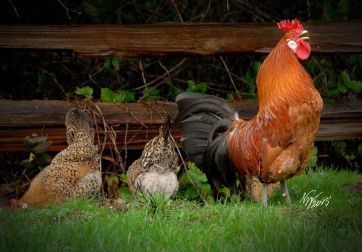 Apariencia y características de la gallina siciliana