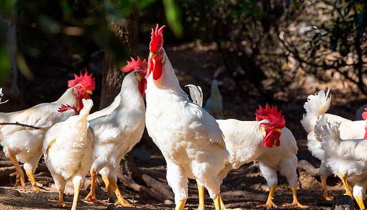 Apariencia y características de la gallina valdarnese