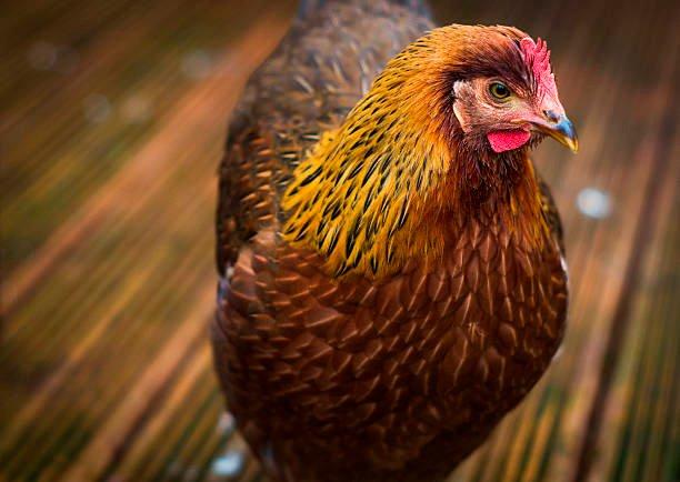 apariencia de la gallina welsummer