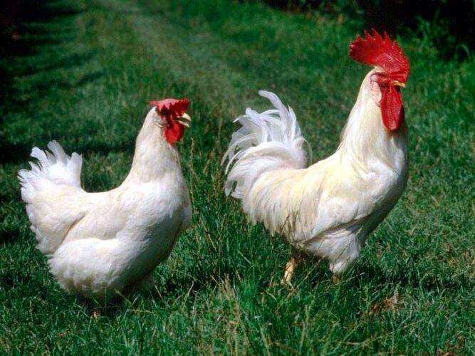 Apariencia y características de la gallina Bianca di Saluzzo