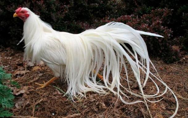 apariencia y características de la gallina yokohama