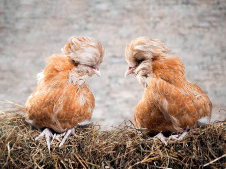 Apariencia y características de la gallina padovana