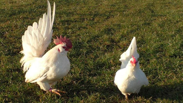 Apariencia y características del gallo chabo