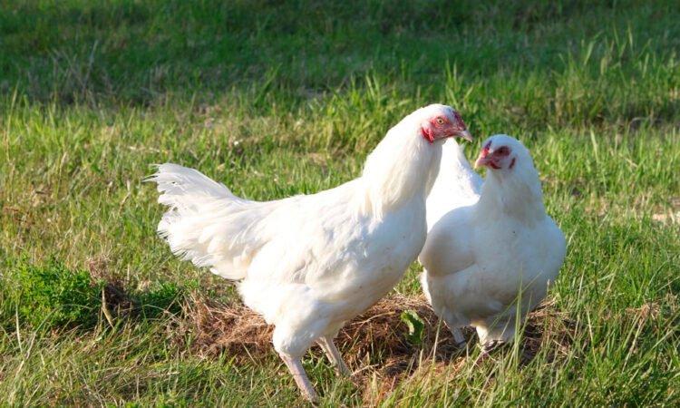 Apariencia y características de la gallina Ixworth