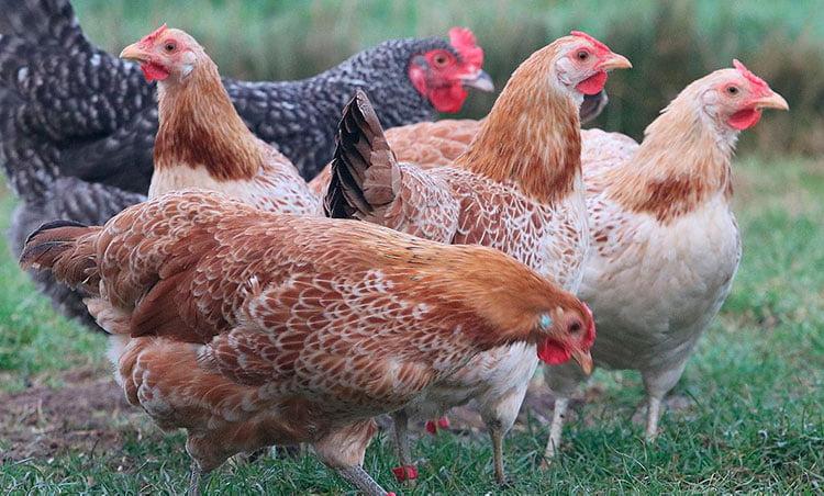 Apariencia y caracteristicas de la gallina Marsh Daisy