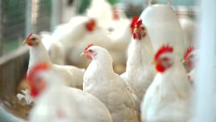Apariencia y características de la gallina Rhode Island blanco