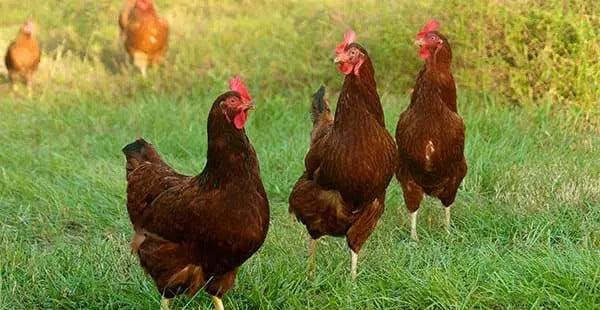 apariencia de las gallinas rhode island red