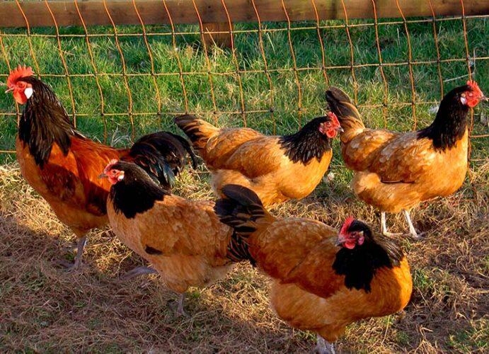 Apariencia y características de las gallinas vorwerk