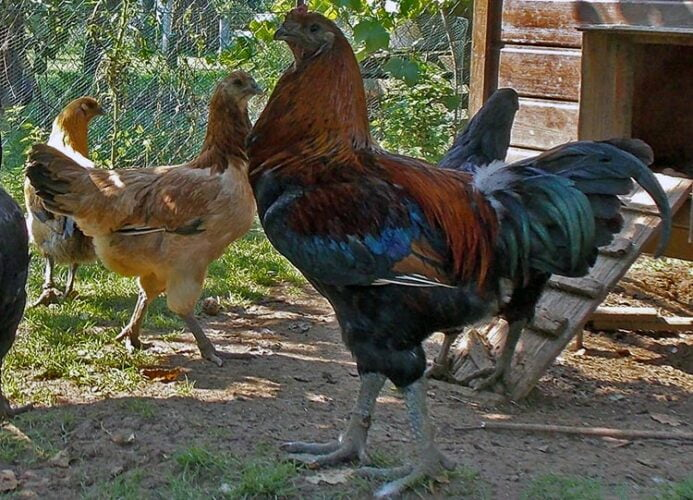 apariencia y características del gallo combatiente de brujas