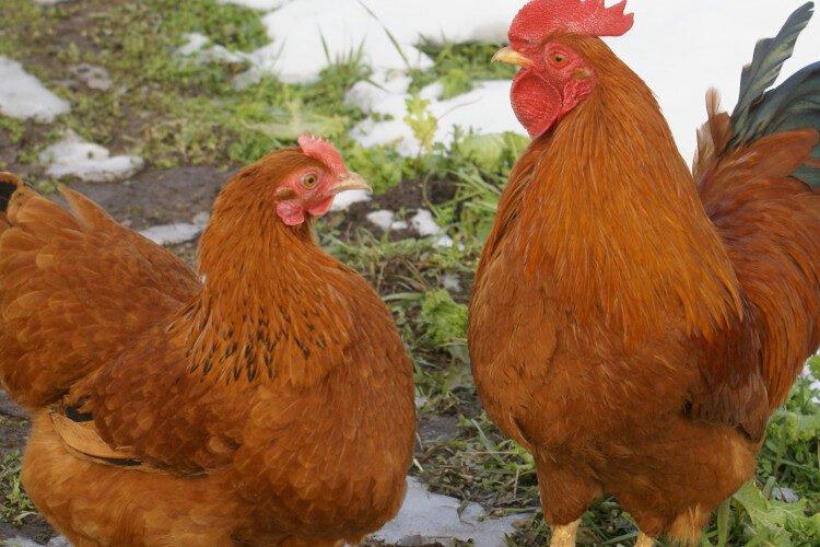 Apariencia de las gallinas de new hampshire