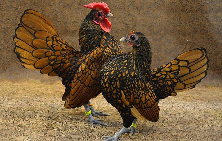 apariencia y características de la gallina sebright