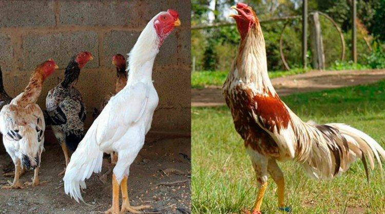 apariencia y características del gallo shamo