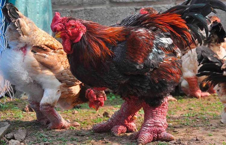 Apariencia y características de la gallina Dong Tao