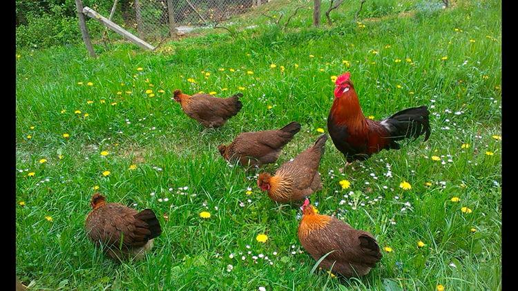 apariencia y características de la gallina estiria