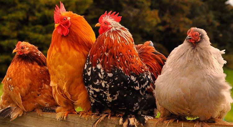 Apariencia y características del pollo de pekin