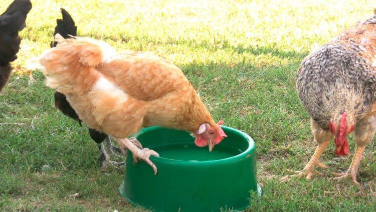 Como evitar que el agua de los pollos se vuelva verde