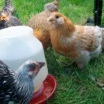 como mantener el bebedero de mis pollos sin agua verde