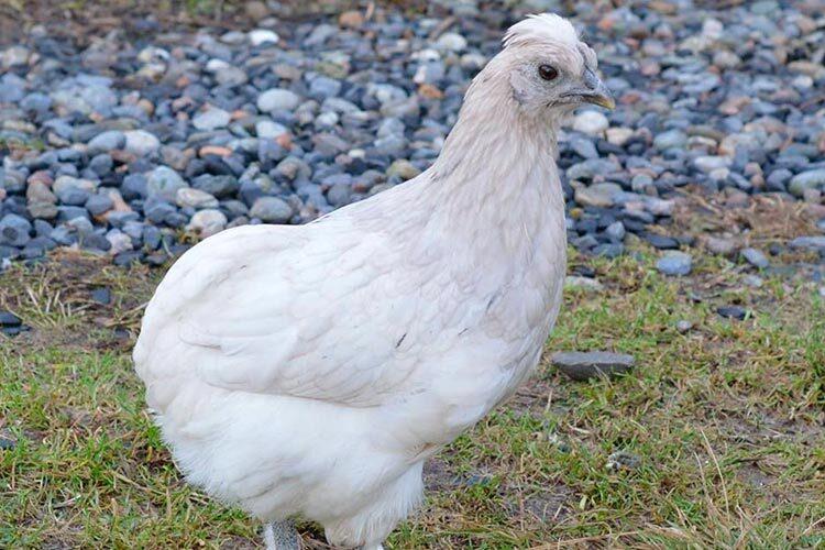 gallina araucana blanca