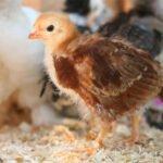 Pollo bb en sus primeros dias de nacido