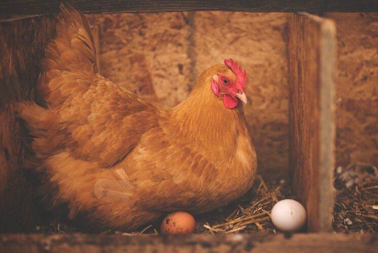 Glosario de términos de las gallinas