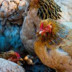 caida de plumas en pollos y gallinas