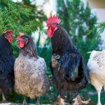 cuanto tiempo ponen huevos las gallinas
