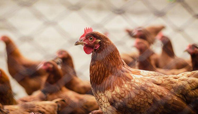 ¿Cuánto tiempo ponen huevos las gallinas?