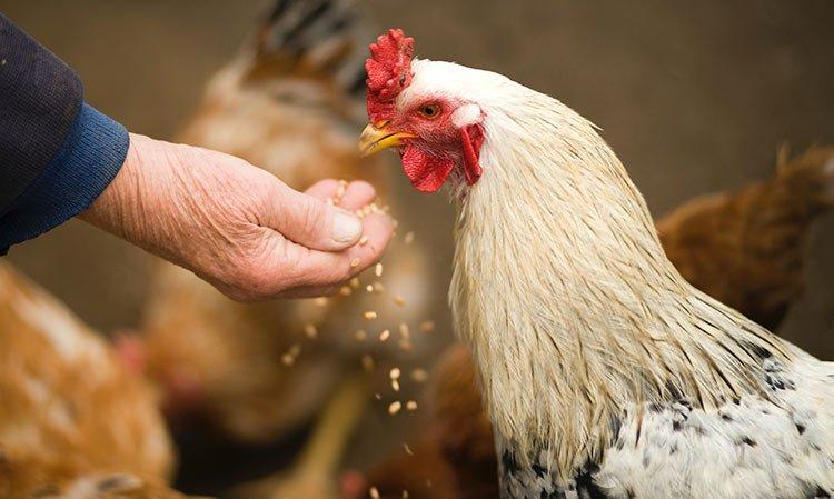 Como hacer que mis gallinas pongan más huevos
