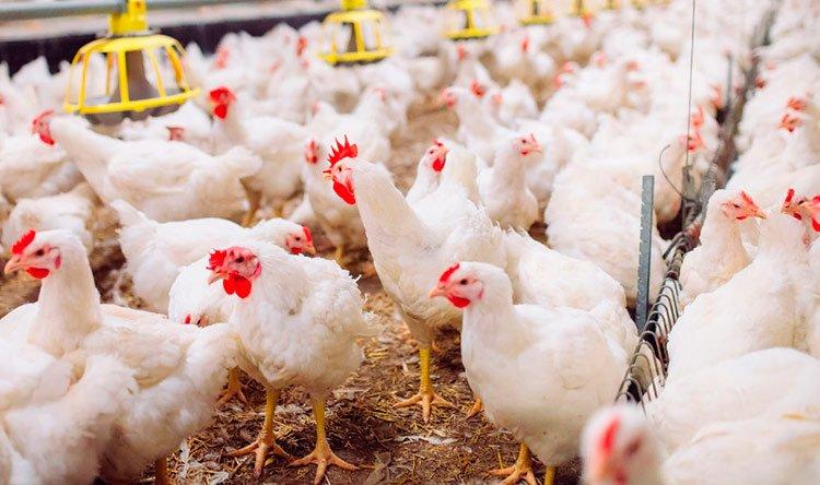 Conoce las enfermedades de los pollos