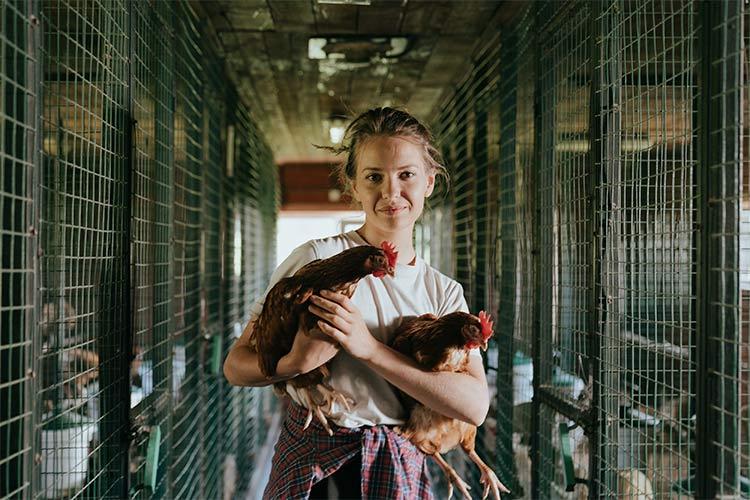 Como hacer para mejorar la produccion de huevos en gallinas