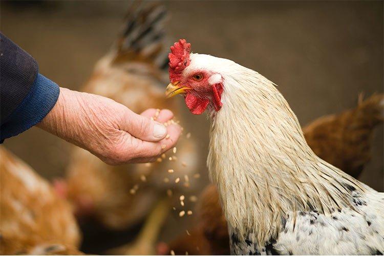 Que alimentos comen las gallinas