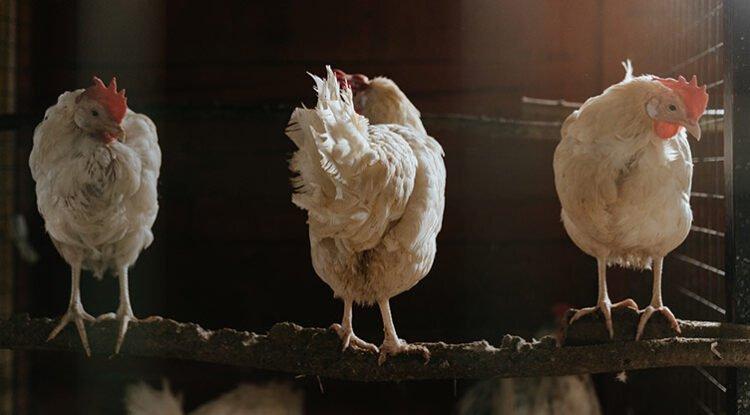 confinamiento gallinas