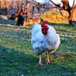 las razas de pollos mas raras del planeta