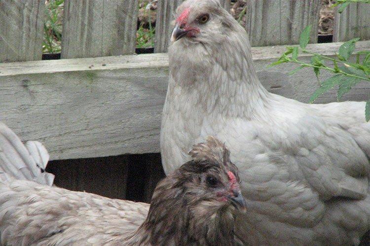 Gallina de huevo de pascua