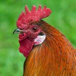 Glosario de terminos de las gallinas