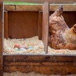 Nidos para gallina