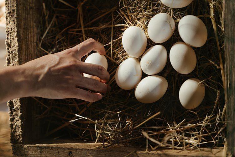 Recolectar los huevos de las cajas nido