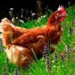 Mantener gallinas libre de parasitos
